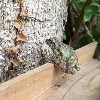 神様の上で樹を観るカエル