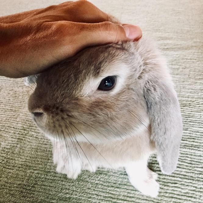 なでられるウサギ